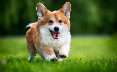 red dog welsh corgi pembroke for a walk in summer
