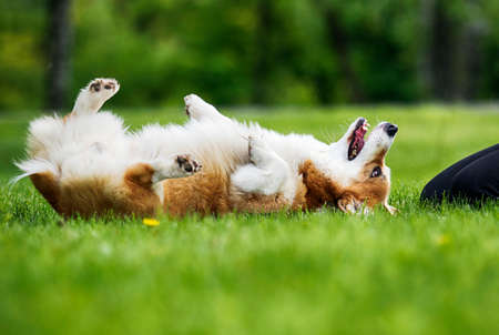 red dog welsh corgi pembroke lies on its back