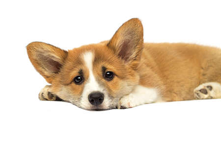little red puppy welsh corgi Pembroke on a white background