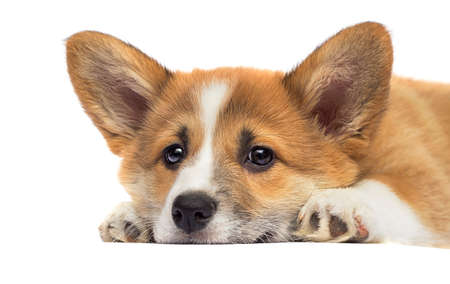 little red puppy welsh corgi Pembroke