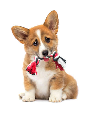 puppy with a toy in his teeth, welsh corgi breed