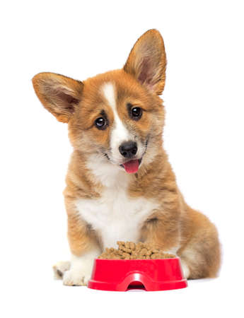 puppy and bowl of dry food, welsh corgi breed