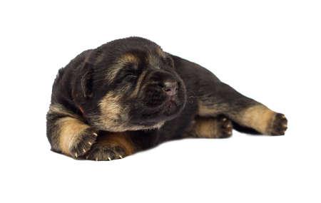 blind newborn puppy Shepherd on a white background