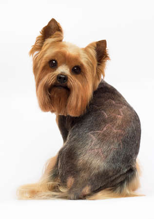 dog Yorkshire terrier with trimmed hair on a white background Reklamní fotografie