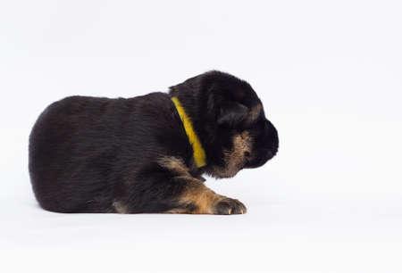 newborn shepherd puppy on white background Stock Photo
