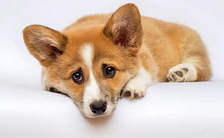 little redhead welsh corgi pembroke puppy on a white background