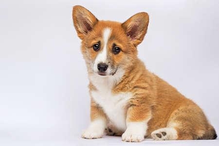 little redhead welsh corgi pembroke puppy