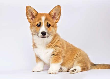 little redhead welsh corgi pembroke puppy sitting