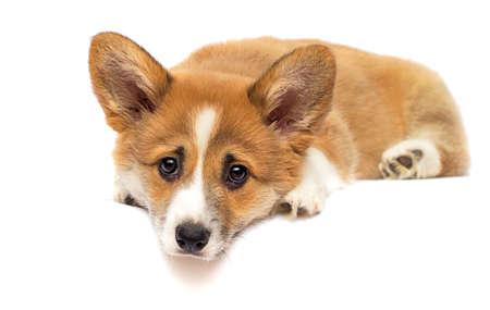 little welsh corgi puppy looking