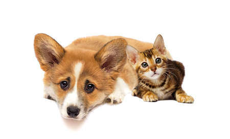 little kitty and welsh corgi puppy looking
