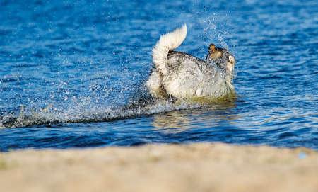 Malamute dog swims in a blue river on a sandy beach