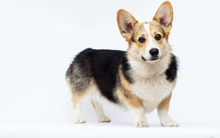 dog stands Welsh Corgi breed in full growth on a white background