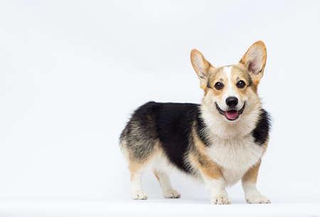 dog listens to full-length welsh corgi breed on a white background