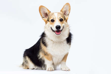 dog sitting and looking at full-length welsh corgi breed on a white background Stock Photo