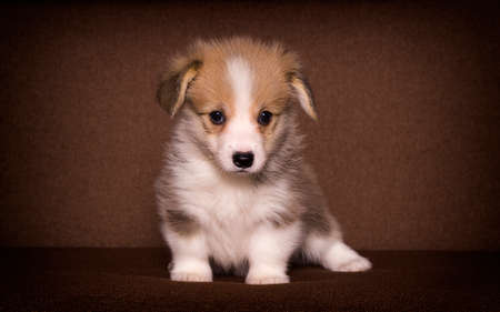 cute puppy is watching a welsh corgi breed