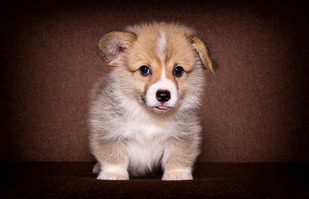puppy lies on the couch, welsh corgi breed Banco de Imagens
