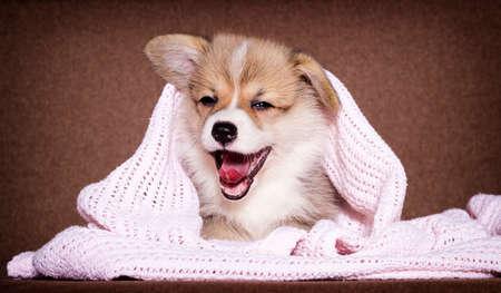 cute puppy under the blanket welsh corgi breed Banco de Imagens