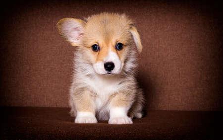 cute puppy welsh corgi breed Banco de Imagens