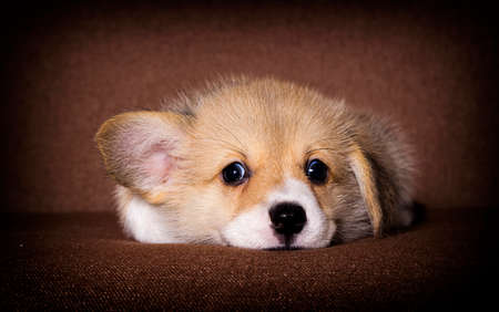 cute puppy welsh corgi breed Stok Fotoğraf