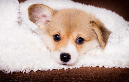puppy lies in a fluffy blanket with a blanket, welsh corgi breed