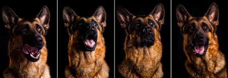 shepherd dog portrait on black background
