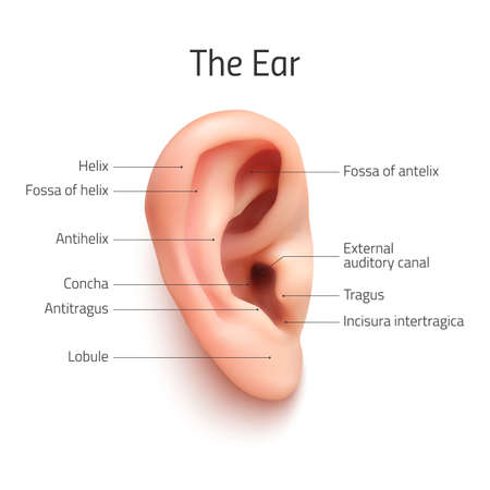 Realistic infographic ear icon, isolated on white background. Vector illustration. Vettoriali