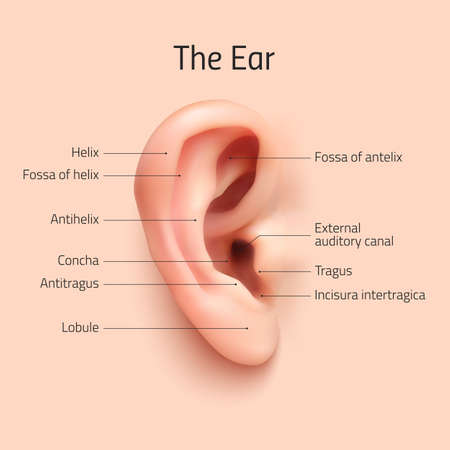 ears: Realistic infographic ear. Perfect for your presentations. Vector illustration. Illustration