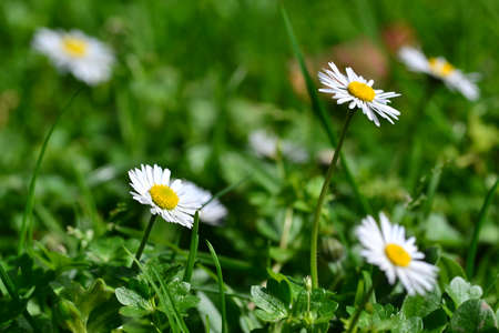 City ​​daisies on a green carpet of grass Stock Photo