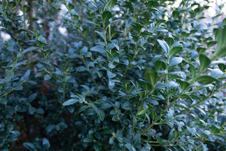 Close-up of part of a lush green bush with small leaves.