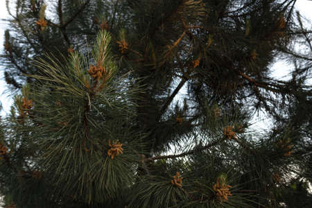 young cones on a conifer in spring close-up in the rays of the setting sun Stock Photo
