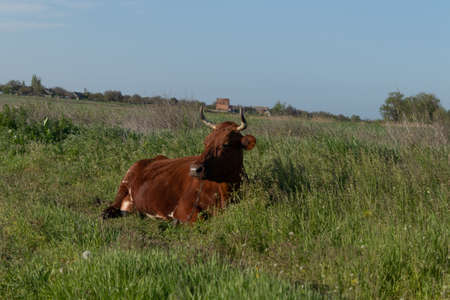 A brown cow lies in the grass under the sun