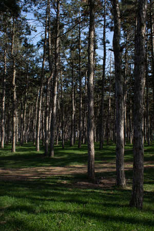 Pine forest with young grass and footpath on a sunny day in spring 版權商用圖片