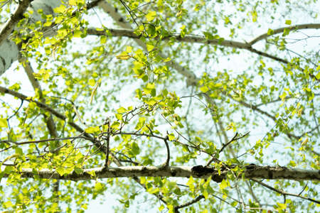 Young leaves on birch branches grow in spring against a clear sky Banque d'images