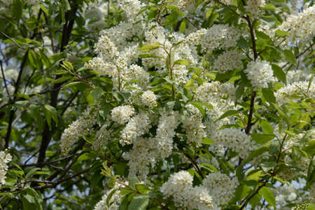 Spring cherry bird branches bloom lushly with delicate white flowers Banco de Imagens
