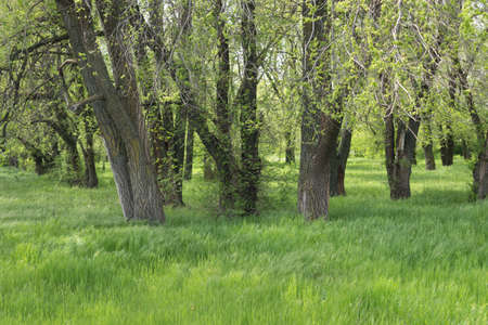 A small forest in spring is covered with young foliage Stock fotó