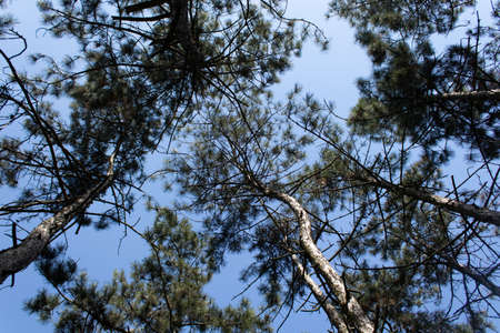 Clear bright blue sky during the day in a pine forest