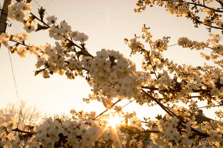 Branches of lushly blooming cherry in the morning sun on a sky background Banco de Imagens