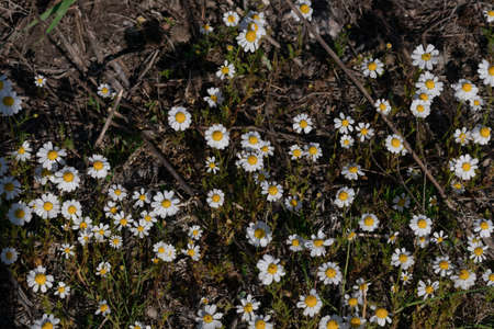 Blooming daisies in the rays of the evening sun grow on the field Reklamní fotografie - 130071060