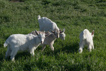 Several little goat kids on the lawn nibbling young spring grass Banco de Imagens