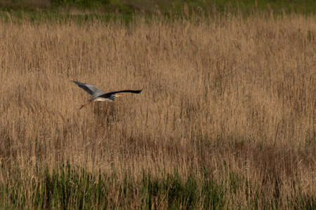 A white stork flies over a river densely overgrown with reeds Reklamní fotografie