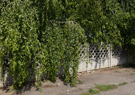 densely planted trees lower their branches with leaves through a concrete fence Фото со стока