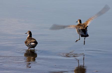 waders: Lim�colas fuera de la zona costera de la laguna