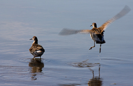 waders: Waders off from the coastal zone of the pond
