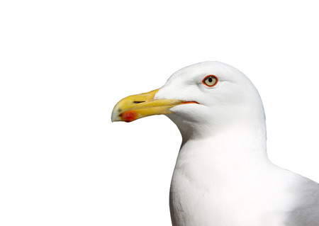 seabirds: Object on a white background, seabirds seagull Stock Photo