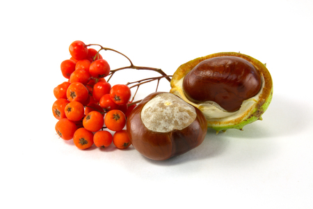 horse chestnut seed: chestnut and mountain ash fruits isolated on a white background
