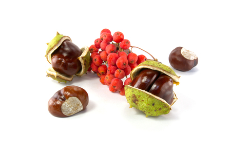 bunchy: chestnut and mountain ash fruits are isolated on a white background Stock Photo
