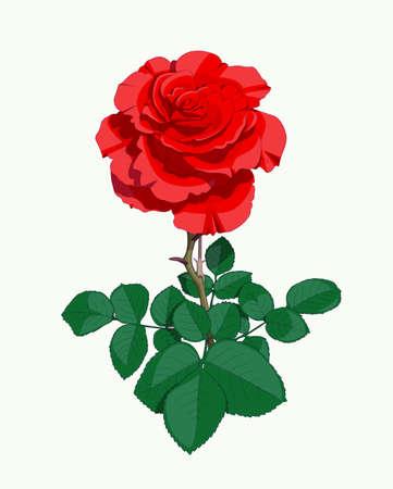 vermilion: Red rose. Eps10 vector illustration Illustration