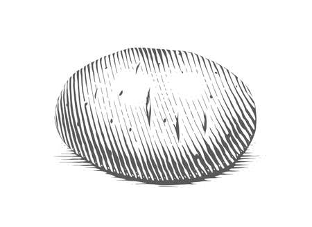 Potato. Engraving style vegetable. Organic vegetarian food. Illustration