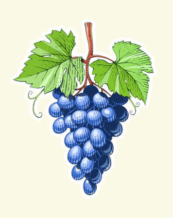 Grapes. Bunch of Berrys in engraving style. Vegetarian healthy food. Natural organic product. Eps10 vector illustration.