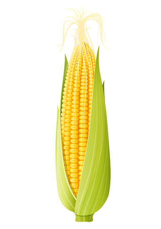Corn cob. Organic food. Corncob natural meal. Ripe Maize. Product for cooking popcorn. Healthy eating. Vegetable. Realistic foodstuff. Isolated white background. vector illustration.